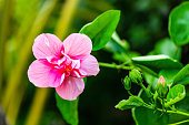 Beautiful abstract floral background with flower buds and defocused lights. Sri Lanka