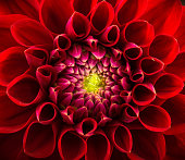 Red chrysanthemum flower close-up, abstract background