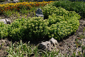 A flower bed near the stones is densely planted with rubbish and yellow blackberry