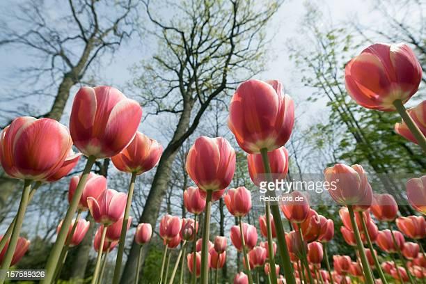 Parterre de fleurs de tulipes rouges sous les arbres dans le parc