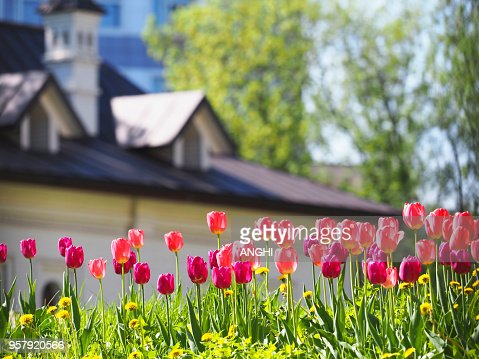 A flower bed with pink and purple tulips in the rays of sunlight against the backdrop of a beautiful white house with a sloping roof. Gardening : Stock Photo