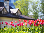 A flower bed with pink and purple tulips in the rays of sunlight against the backdrop of a beautiful white house with a sloping roof. Gardening