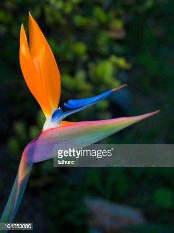 oiseau de paradis plante photos et images de collection getty images. Black Bedroom Furniture Sets. Home Design Ideas