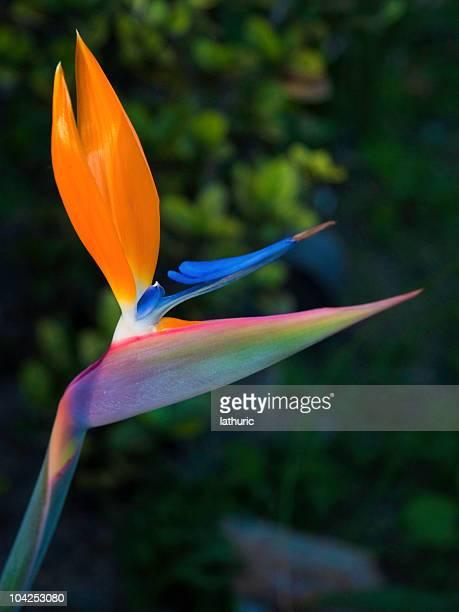 Flower - Bird of Paradise