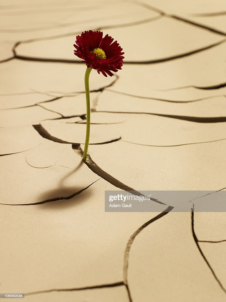Flower blooming between cracks in mud : Stock Photo