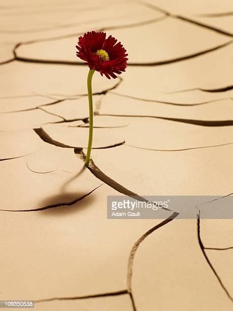 Flower blooming between cracks in mud
