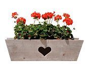 Geranium in flower box with a heart cutout, isolated on white