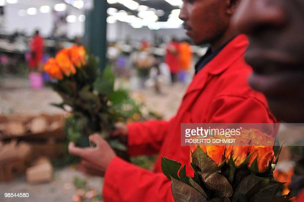 Flower farm workers remove the carton and rubber bands used to keep a bunch of fresh flowers together in packing before the roses were discarded at a...