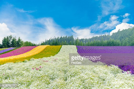 Flower field  in Hokkaido, Japan : Stock Photo