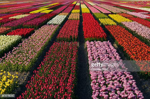 Flower field of multicolored tulips