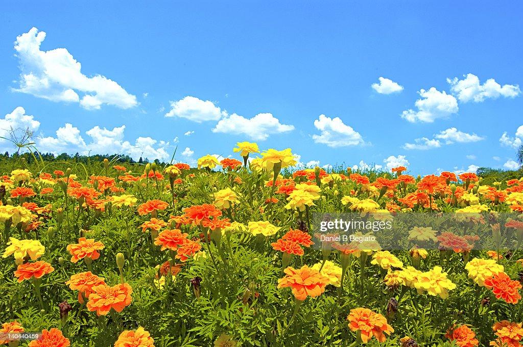 Flower field under blue sky : Stock Photo