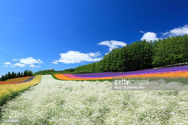 Flower fields and sky with clouds, Hokkaido