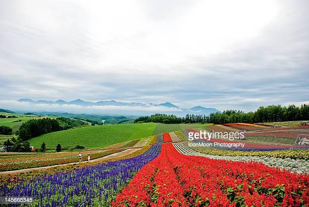 Flower fields in Biei