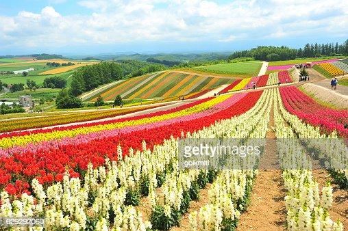 Flower Fields in Hokkaido, Japan : Stock Photo