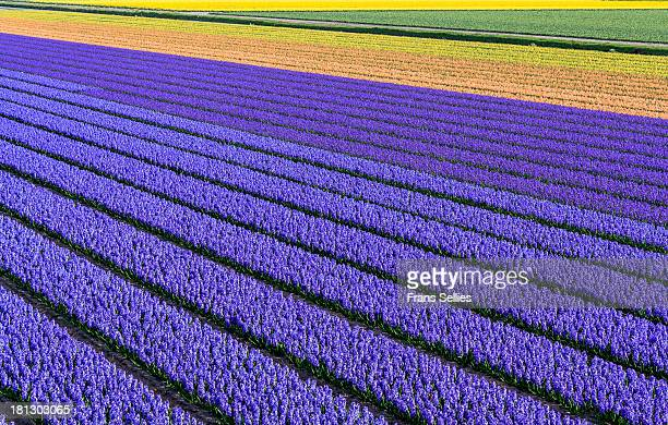 Flower fields in spring in Holland