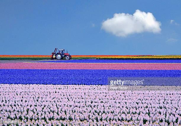 Flower fields under blue sky