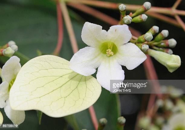 A flower from the Emmenopterys henryi tree originally from the Chinese forests is pictured in bloom on August 12 at an arboretum near Antwerp in...