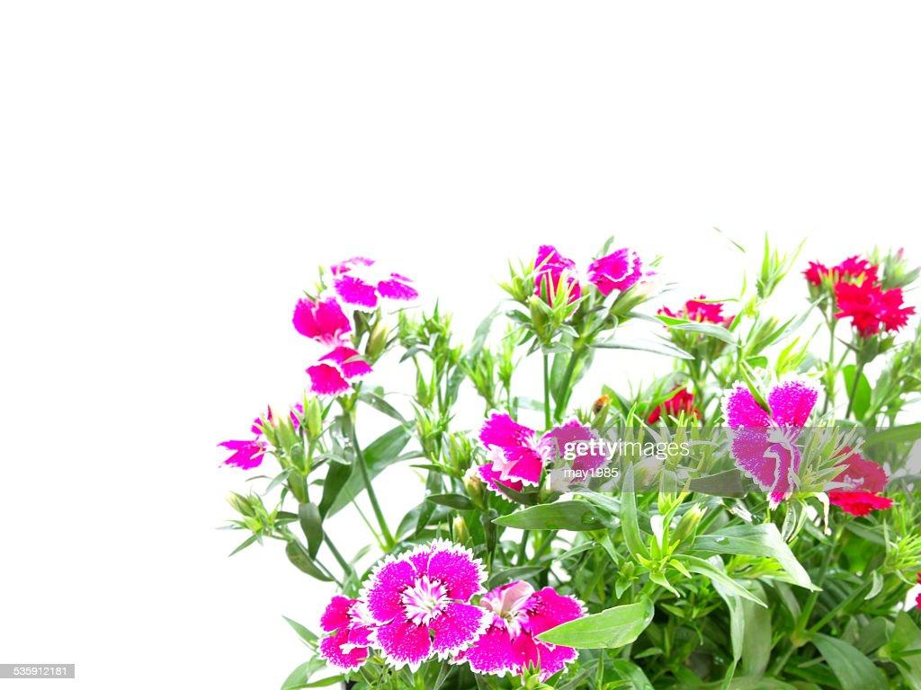 Jardín de flores aislada sobre fondo blanco : Foto de stock