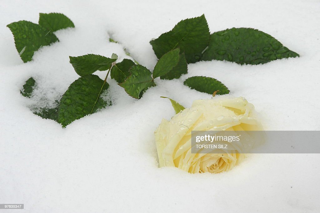 A flower has been left in the snow by people during a memorial service marking the first anniversary of the shooting at the Albertville secondary school in Winnenden, southern Germany on March 11, 2010. A year ago 17-year-old teenager Tim K. used his father's pistol to kill 12 people at the school and three others when he fled before killing himself.