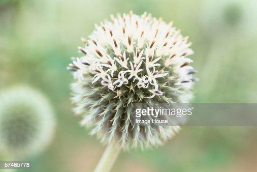 Flower head, close-up