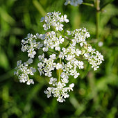 Top view of the flower head of a common white flowering umbellifer (umbrella shape), cow parsley (Anthriscus sylvestris). As the Latin name suggests, cow parsley can be found in light woodland, but al