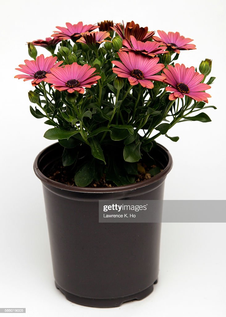 osteospermum en pot 9 osteospermum flower in 1 gallon black pot often called african daisies. Black Bedroom Furniture Sets. Home Design Ideas