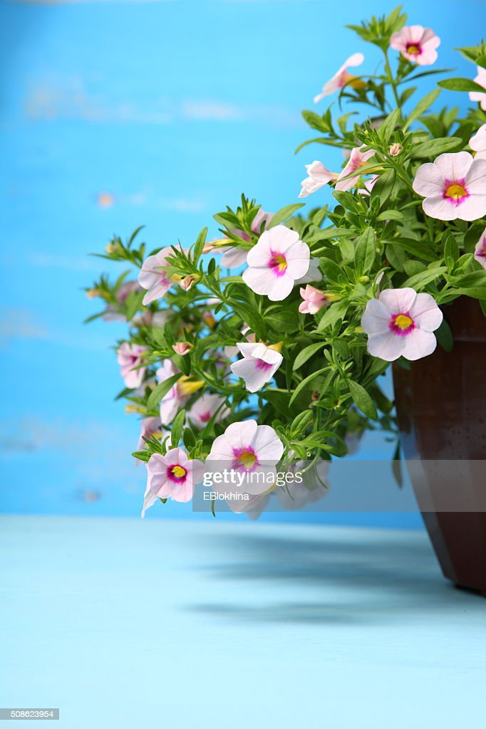 Flower in a pot : Stock Photo
