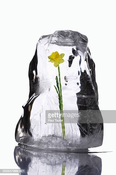 Flower in block of ice