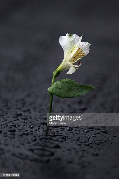 A flower is seen in the rain with the names of the deceased at the National September 11 Memorial on the fourth day it was open to the public on...