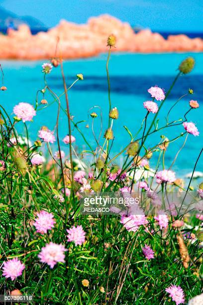 Flower Isola Cavalli island Porto San Paolo Loiri Sardinia Italy Europe
