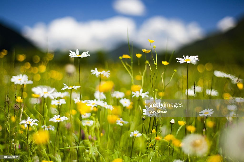 Flower meadow : Stock Photo