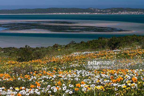 Flower meadow with African Daisy or Cape Marigold -Osteospermum ecklonis- and Livingstone Daisy -Dorotheanthus bellidiformis-, coast, West Coast National Park, Western Cape Province, South Africa