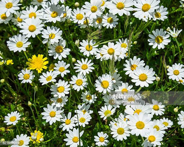 Flower meadow with marguerites, Andalucia, Spain