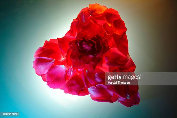 flower of a red rose in a heart made of rose petals