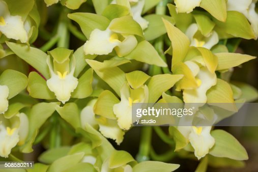 Flower of Cymbidium : Stockfoto