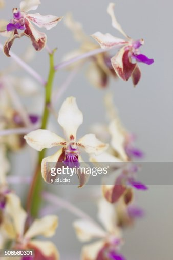 Fiore di Cymbidium : Foto stock