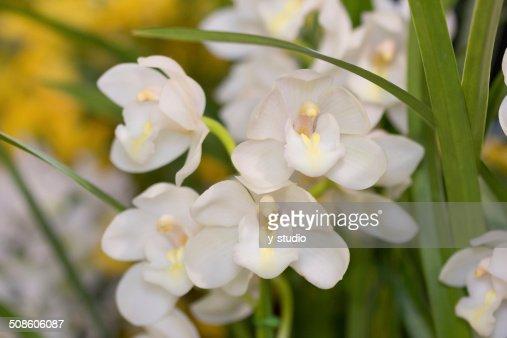 Flor de Cymbidium : Foto de stock