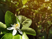 Flower of Lime, full growth stage having stamen, carpel, and petal, in sun light