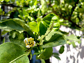 Flower of lime in sun light, blossom started to bloom, have ants helping it to pollinate by walking around the stigma and anther, no pesticide