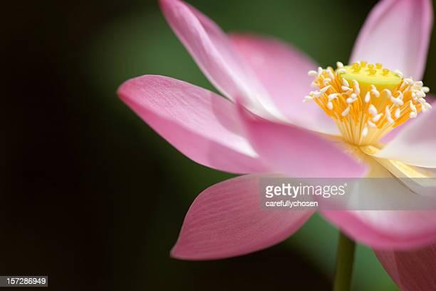 Flower of Lotus opened