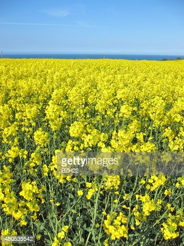 Flower of rape : Stock Photo