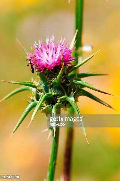 Flower of Silybum marianum Milk thistleCardo mariano along the southwest coast of the island Asinara Island Asinara National Park Sardinia Italy...