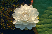 Flower of Victoria amazonica giant water lily leaf at Porto Jofre in the northern Pantanal Mato Grosso province in Brazil