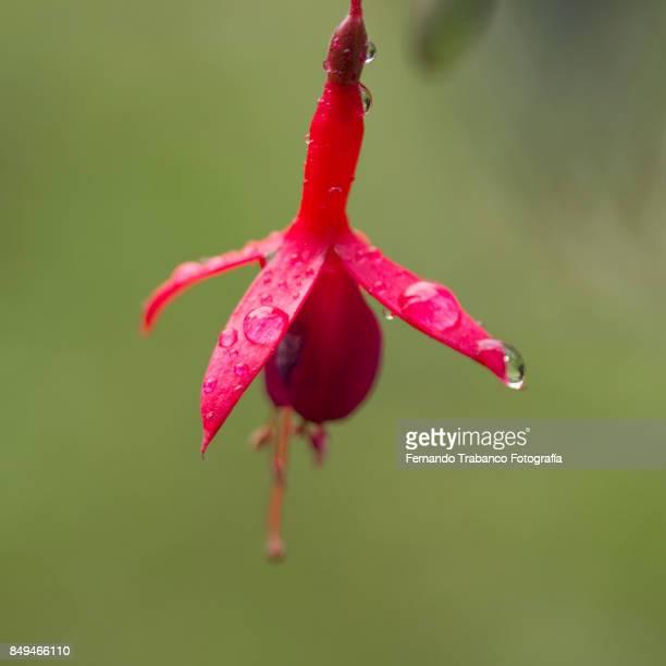 Flower on a rainy day