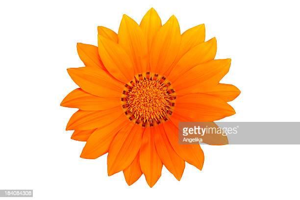 Blume (isoliert