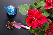 On the image is a flower Christmas star, another name is Poinsettia and tools for the care of indoor plants. In the picture there is a flower and dirt for plants.