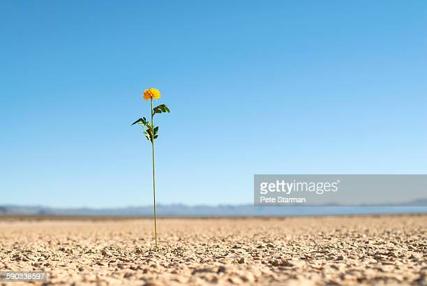 Flower sprouting above dry lake bed.