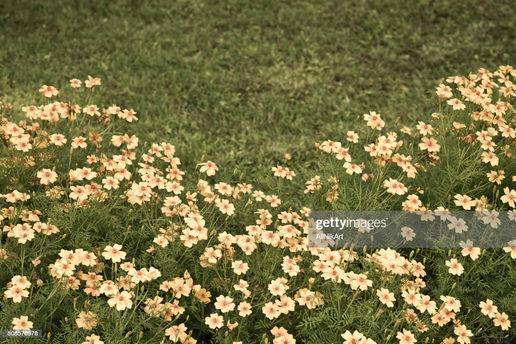Flowerbed. Marigolds flowers. Vintage floral background. Toned in retro style. : Stockfoto