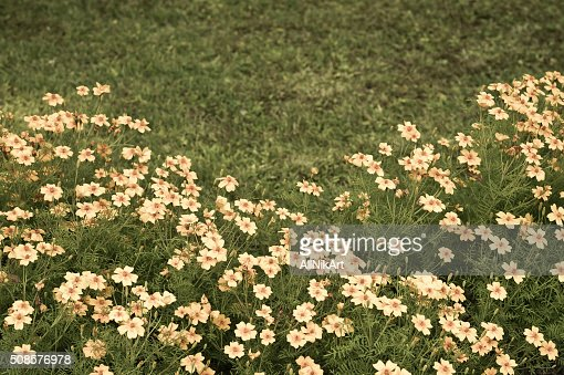 Flowerbed. Marigolds flowers. Vintage floral background. Toned in retro style. : Stock Photo