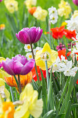 Flowerbed with different varieties of tulips and daffodils in a park